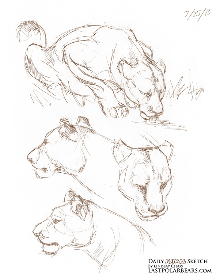 705x900 Daily Animal Sketch Lioness Last Of The Polar Bears