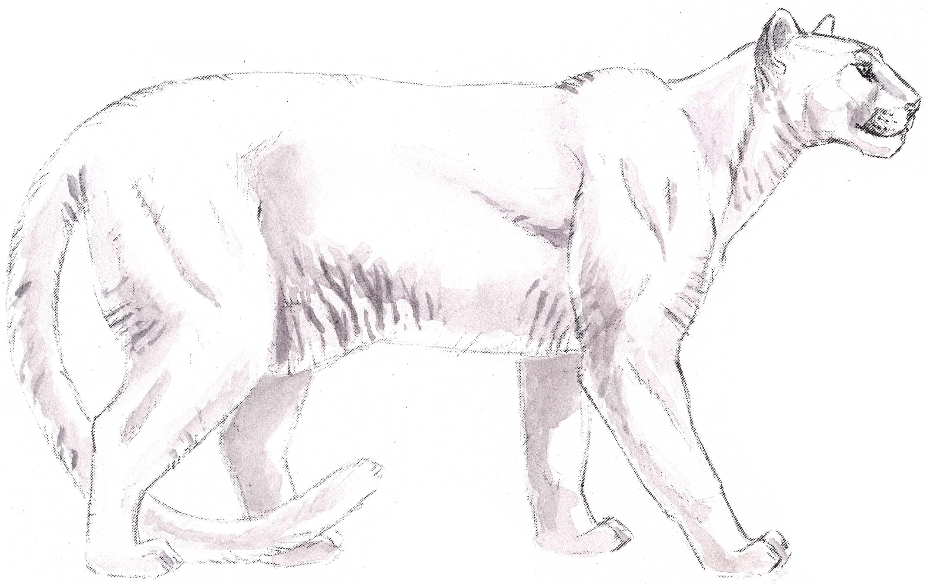 3200x2014 Pencil Drawings Of Mountain Lions
