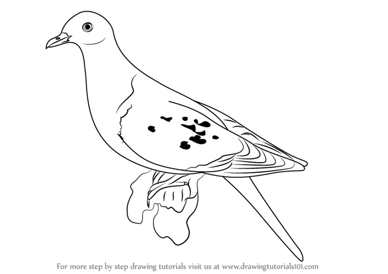 800x565 Learn How To Draw A Passenger Pigeon (Birds) Step By Step