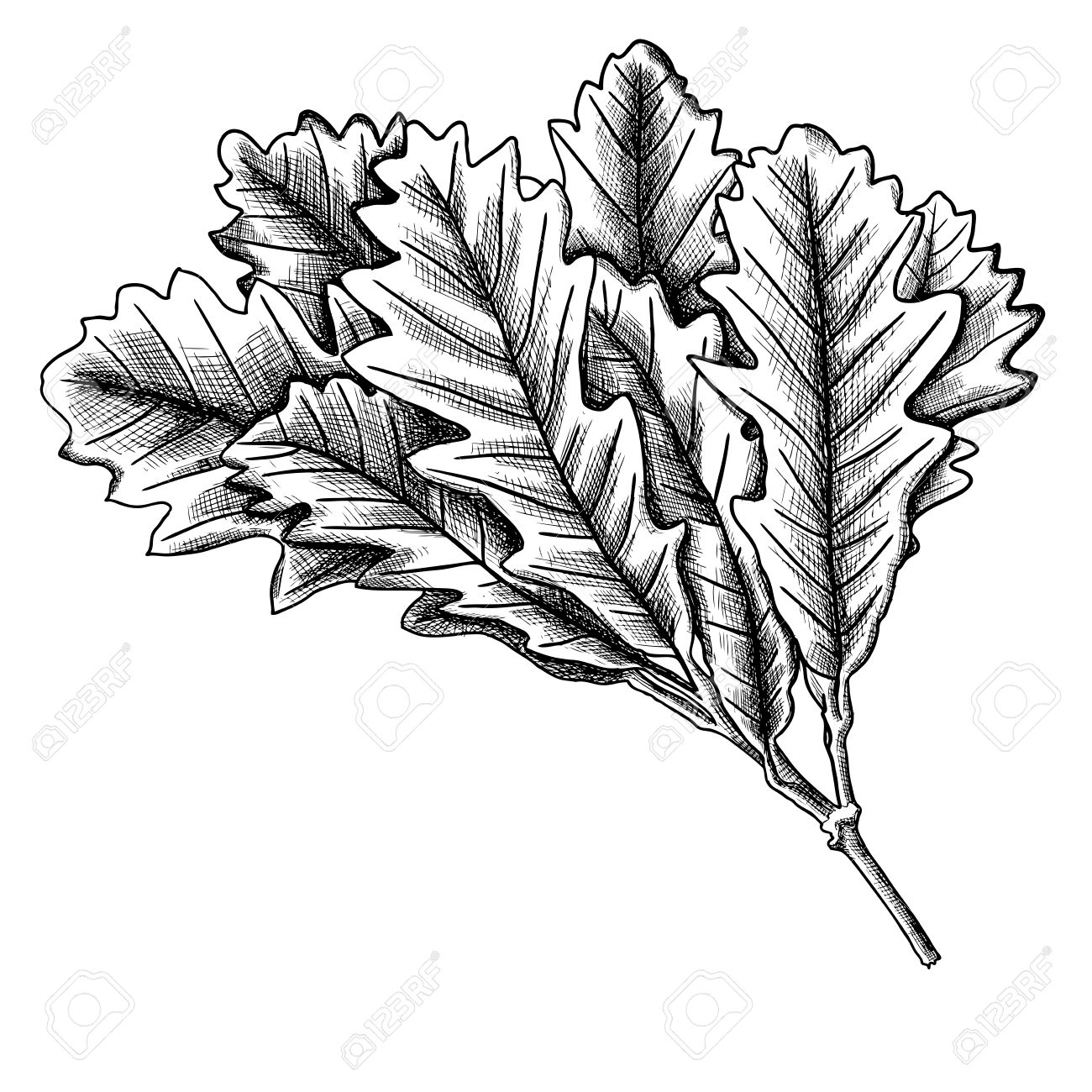 1300x1300 Hand Drawn Ink Rustic Oak Leaf, Oak Leaves Branch Isolated