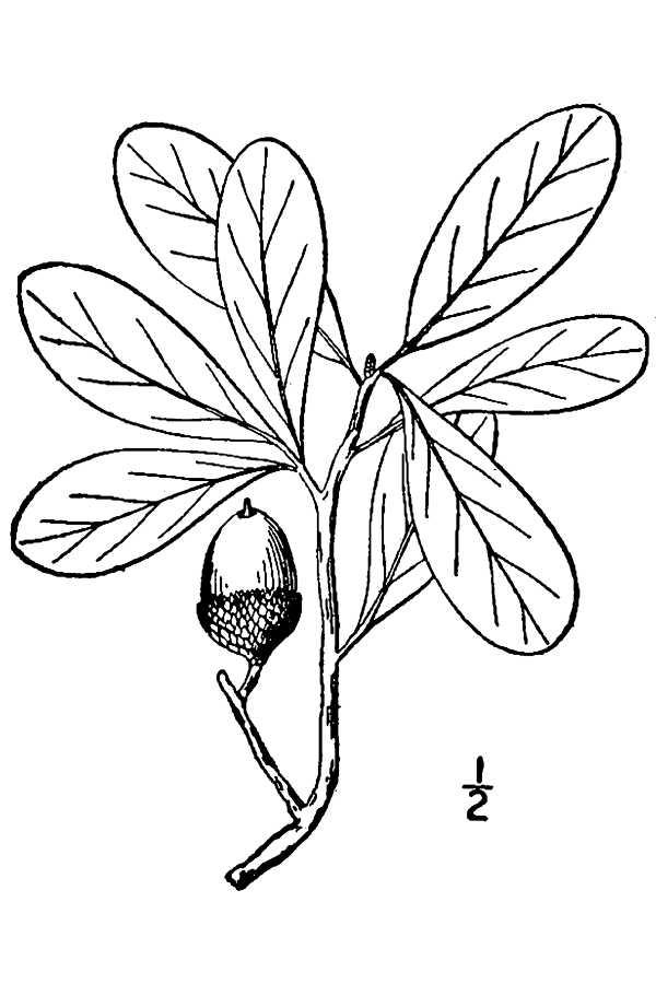600x900 Large Image For Quercus Virginiana (Live Oak) Usda Plants