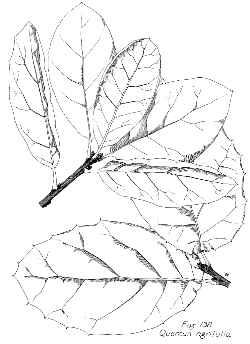 250x344 Live Oak, Encina (Quercus Agrifolia)
