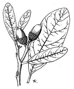 250x300 Live Oak (Quercus Virginiana)