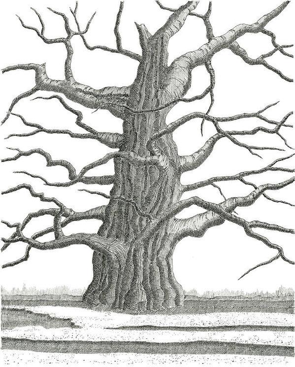 599x744 Oak Tree Drawings