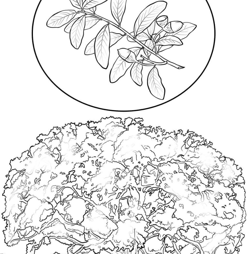 1020x1050 Oak Tree Coloring Pages