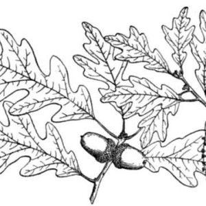 300x300 Awesome Drawing Oak Tree Coloring Page Color Luna