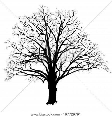 450x470 Black Oak Tree Images, Illustrations, Vectors