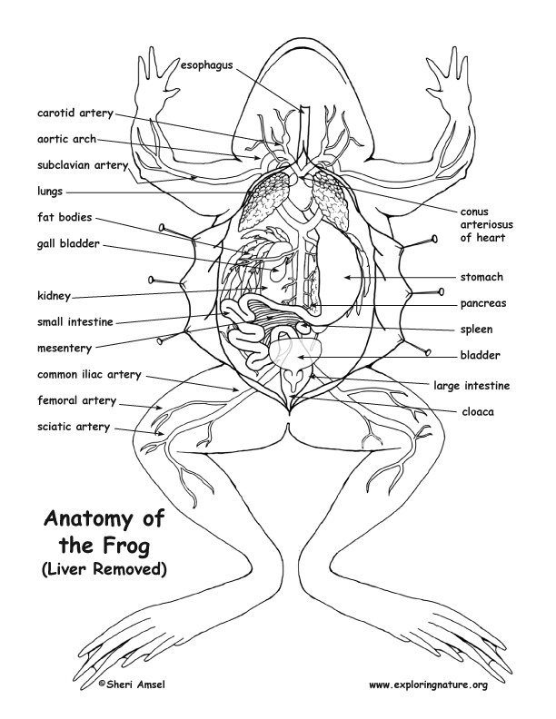 612x792 Frog Anatomy (Under The Liver)