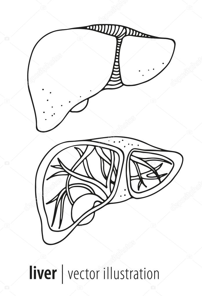 697x1023 Human Liver And Gallbladder Anatomy Illustration Stock Vector