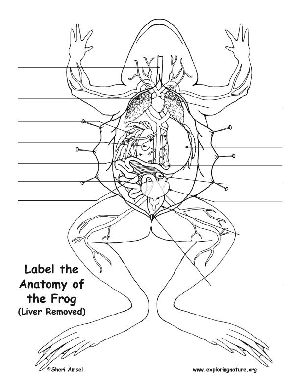 Liver Drawing At Getdrawings Com