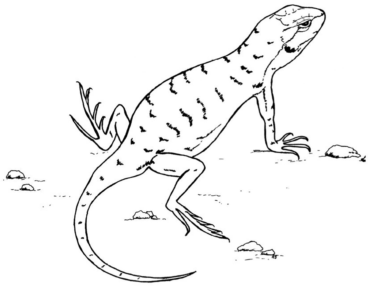 Lizard drawing pictures at free for for Lizards coloring pages