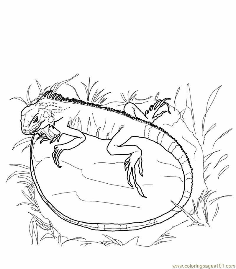 800x911 Green Iguana Lizards Coloring Page