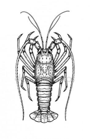 293x450 Spiny Lobster Stock Vectors, Royalty Free Spiny Lobster