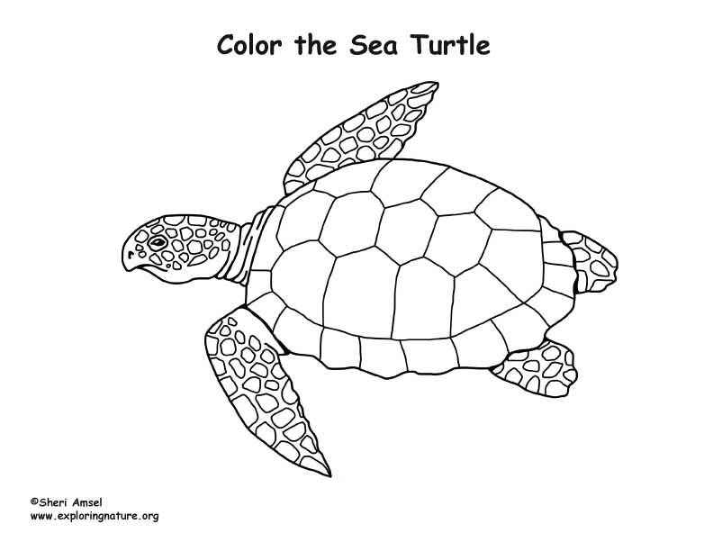 Loggerhead Sea Turtle Drawing At Getdrawings Com Free For Personal