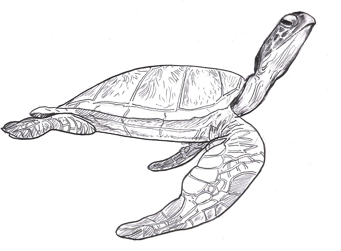 1349x996 Sea Turtle Drawing Pictures Sea Turtles! Sea Turtle Steve