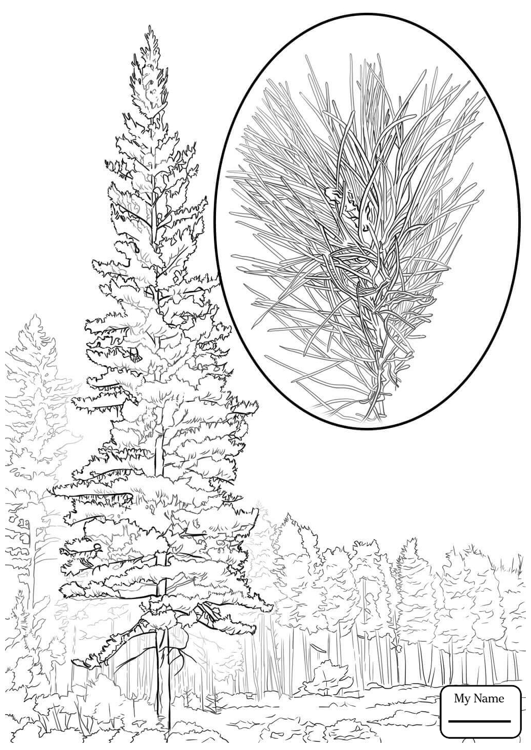 1040x1469 Coloring Pages For Kids Eastern White Pine Trees Leaves Pine Trees