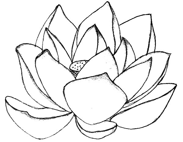 lotus flower coloring pages - lotus flower drawing color at free for