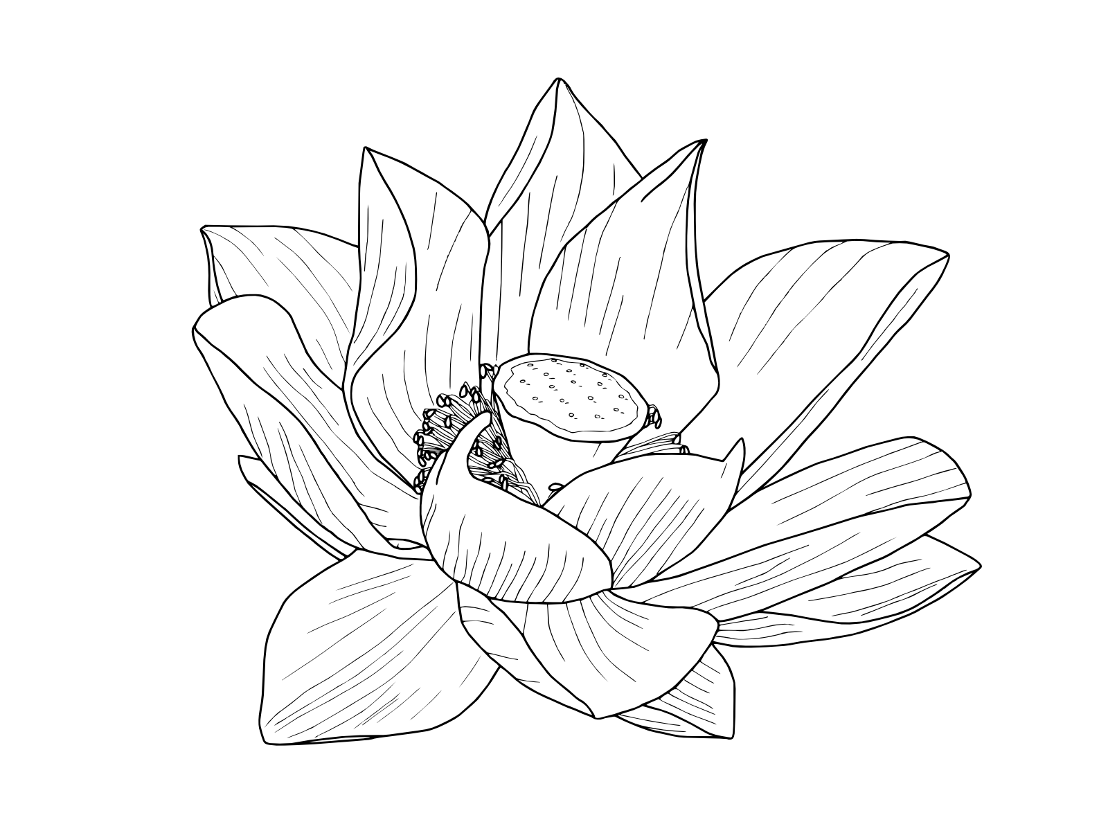 1600x1200 Lotus Flower Outline Lotus Flower Outline, Lotus