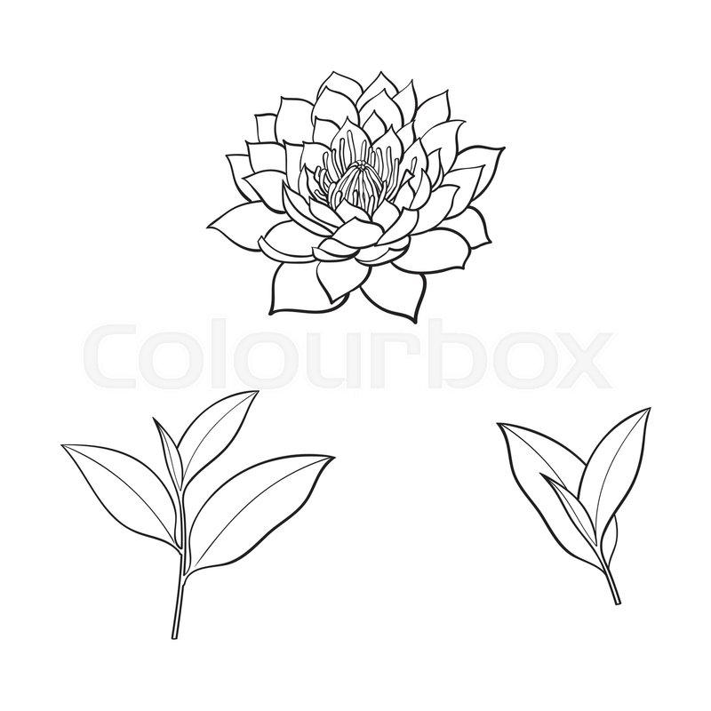 800x800 Vector Sketch Cartoon Lotus Flower Blossom Blooming, Tea Leaves