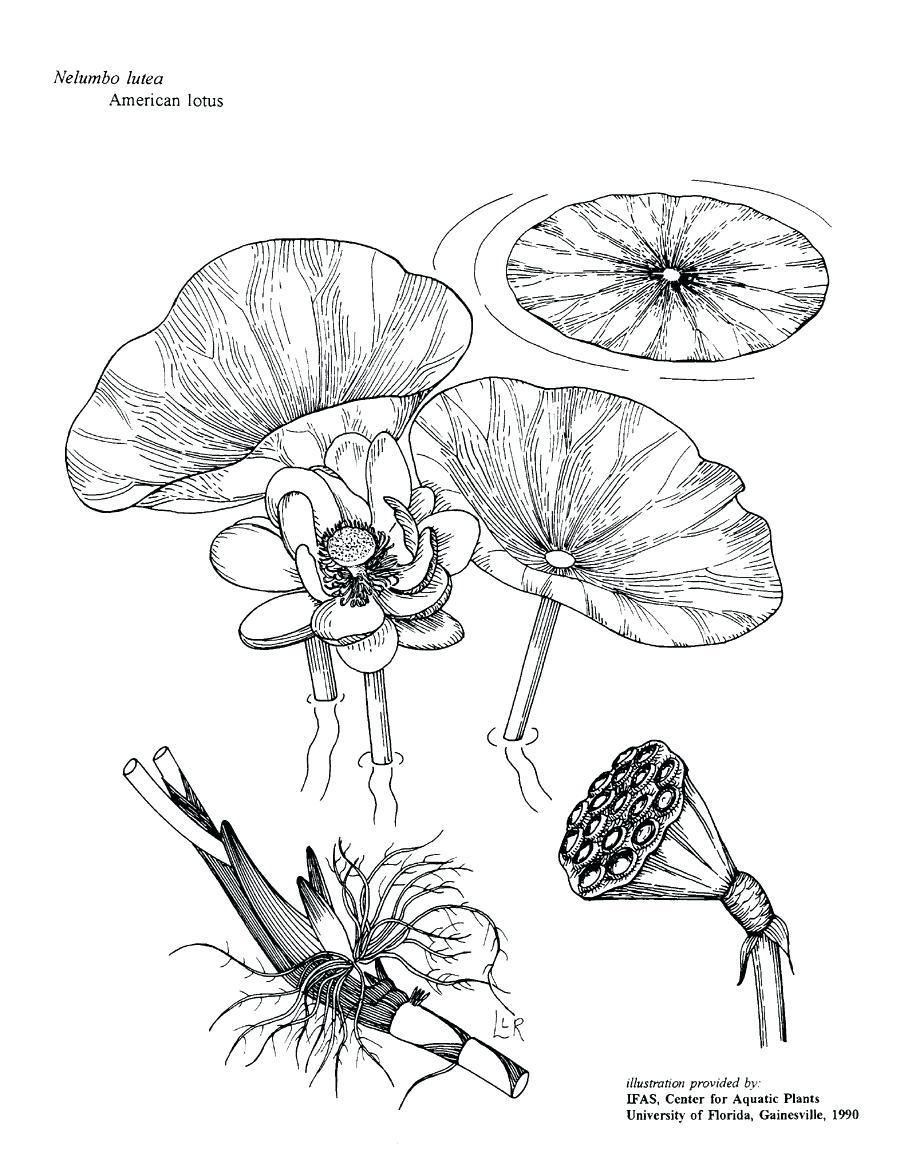 Lotus Flower In Water Drawing at GetDrawings com Free