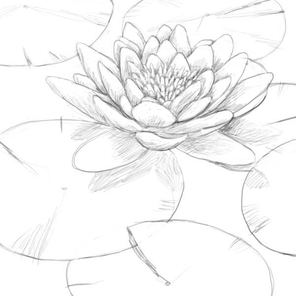 600x600 Drawn Lotus Water Drawing
