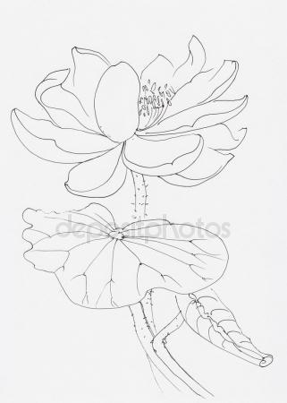 321x450 Lotus Flower Drawing Stock Photos, Royalty Free Lotus Flower