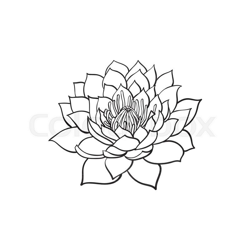 800x800 Vector Sketch Cartoon Lotus Flower Blossom Blooming. Isolated