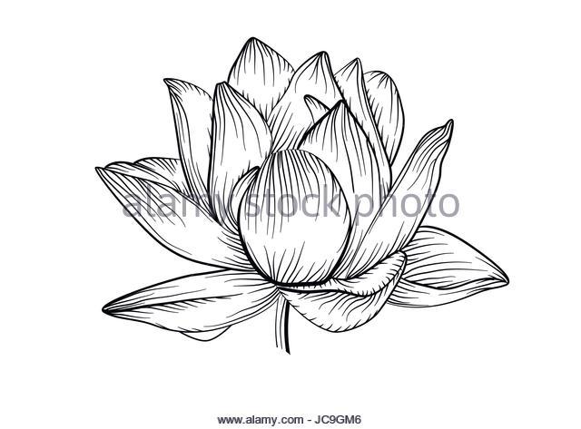 640x473 White Lotus Flower Stock Vector Images