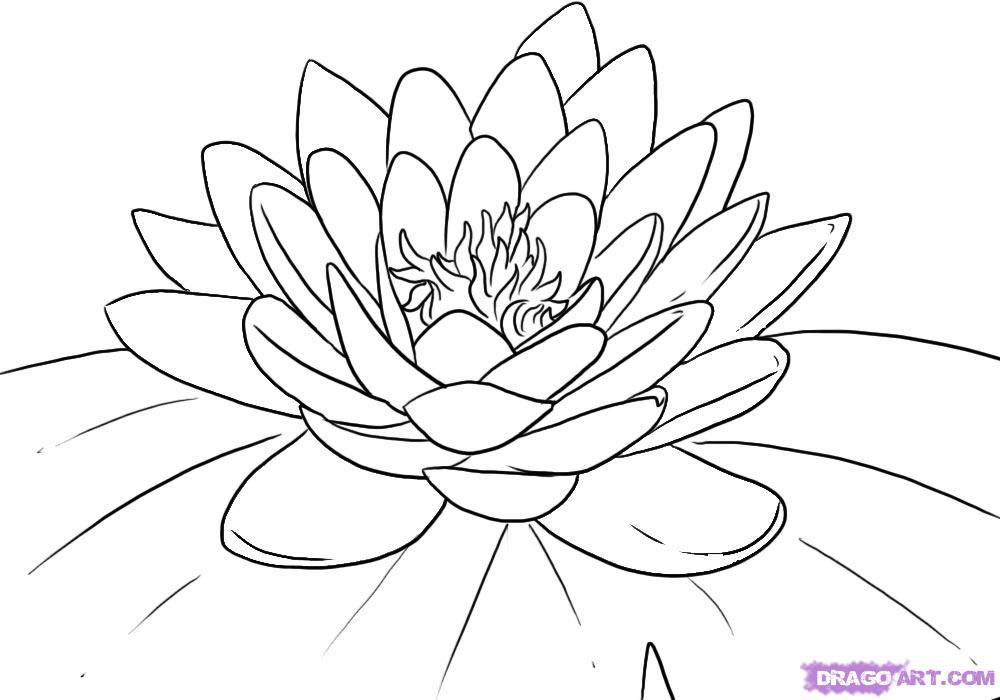 1000x700 Drawn Lotus Water Drawing