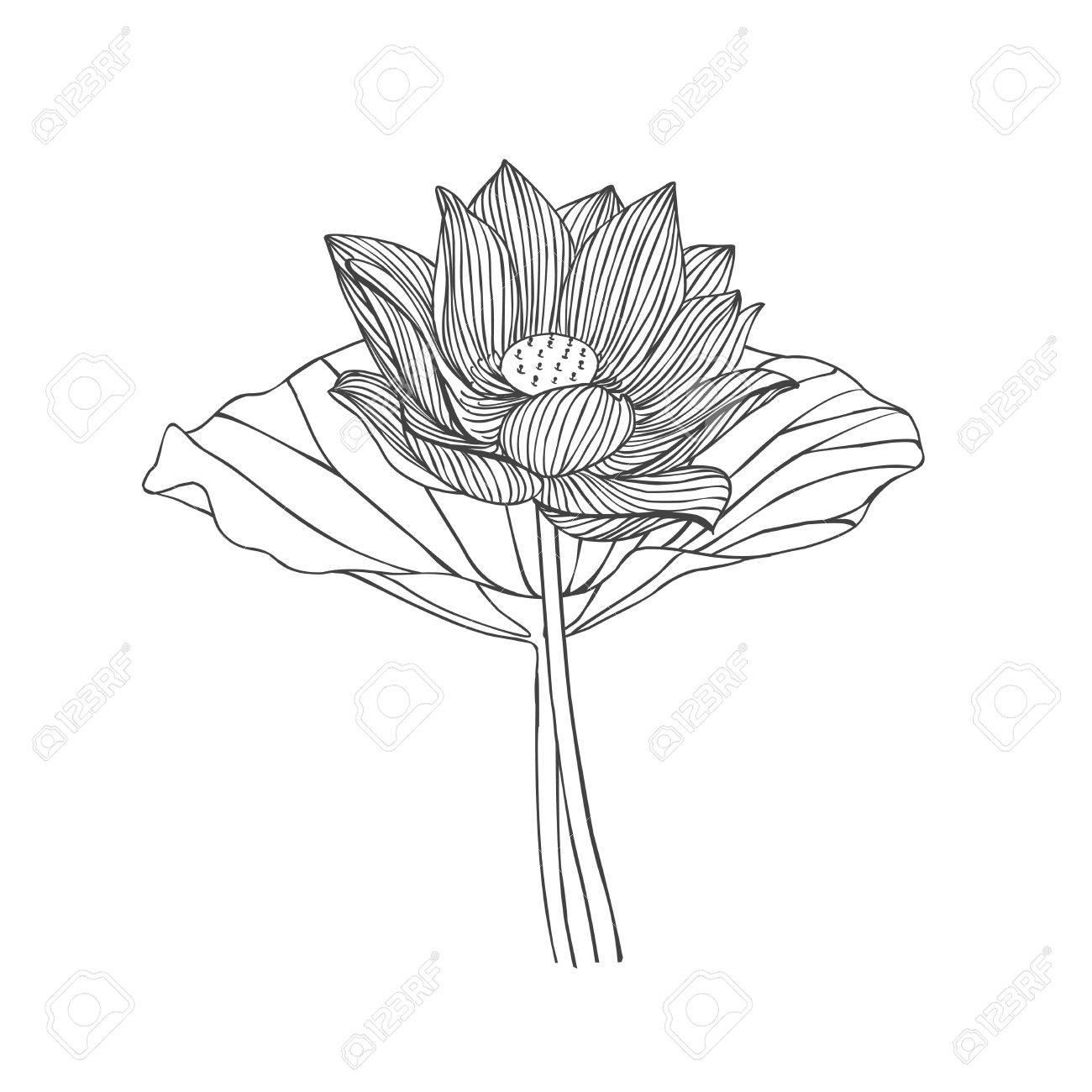 Lotus Leaf Drawing At Getdrawings Free For Personal Use Lotus