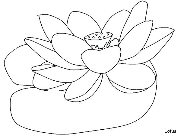 600x450 Lotus Flower Coloring Page How To Draw Lotus Flower Colouring Page