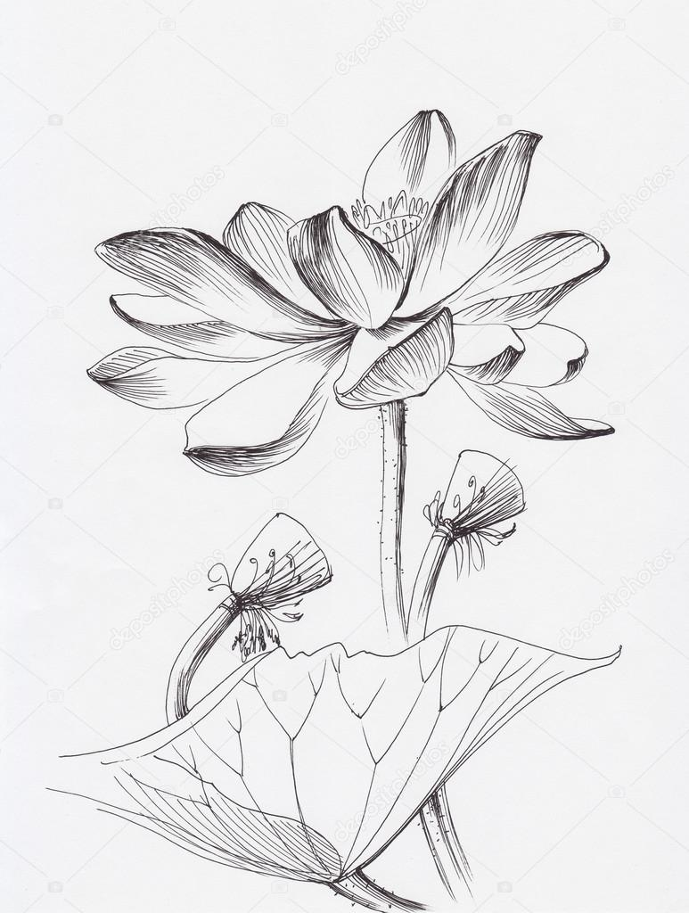 773x1024 Lotus Flower Line Art Stock Photo Surovtseva