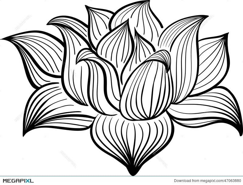 800x611 Vector Black And White Lotus Flower Illustration 47063880