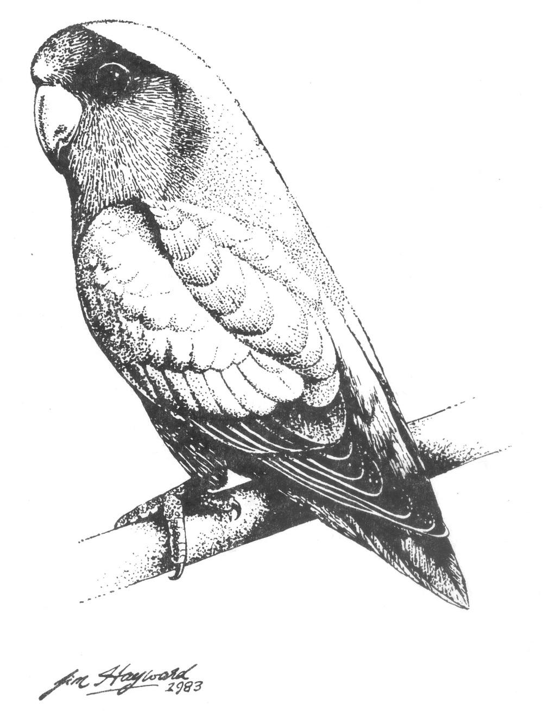 1000x1309 Drawn Lovebird Parrot