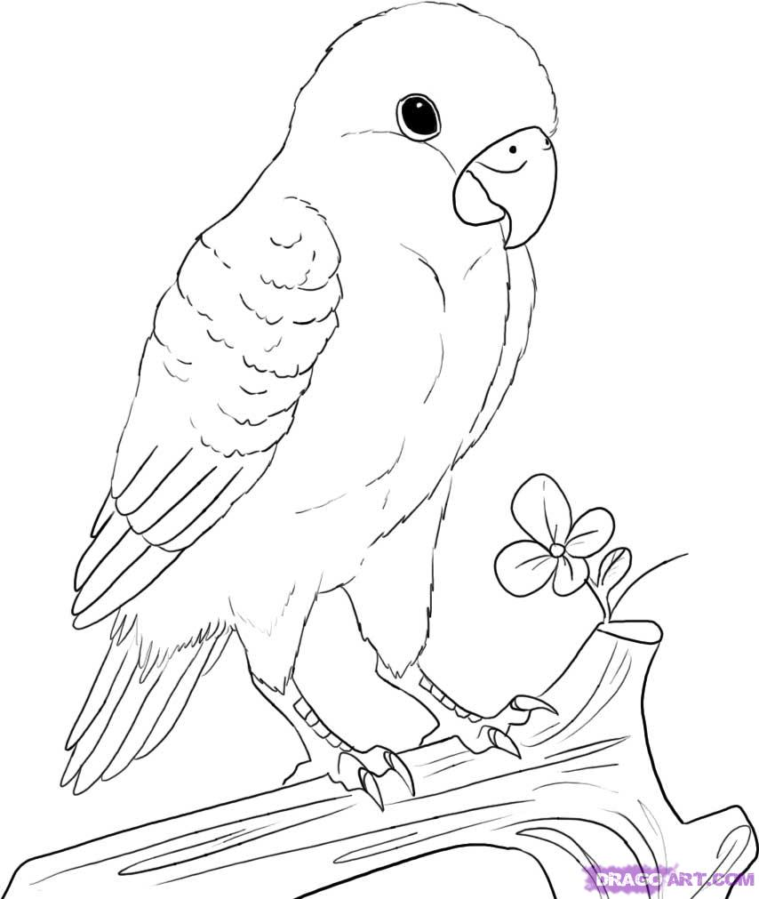 854x1011 How To Draw A Peach Faced Lovebird
