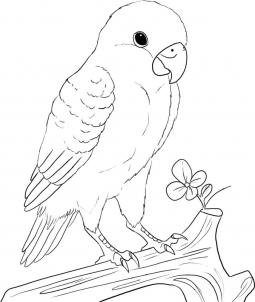 255x302 How To Draw A Peach Faced Lovebird Kids Crafts