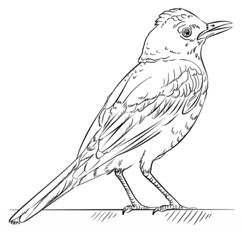 480x464 Red Robin Bird Coloring Pages Red Robin Bird Coloringr