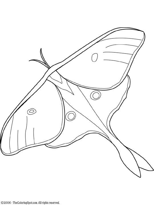 Luna Moth Drawing