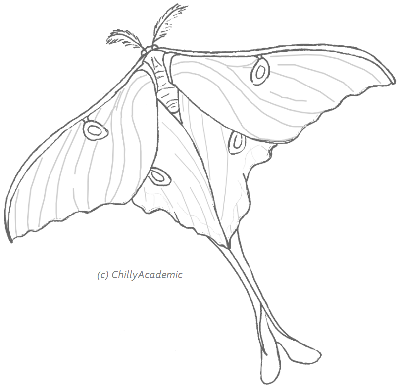 808x783 Luna Moth Drawing Related Keywords Amp Suggestions