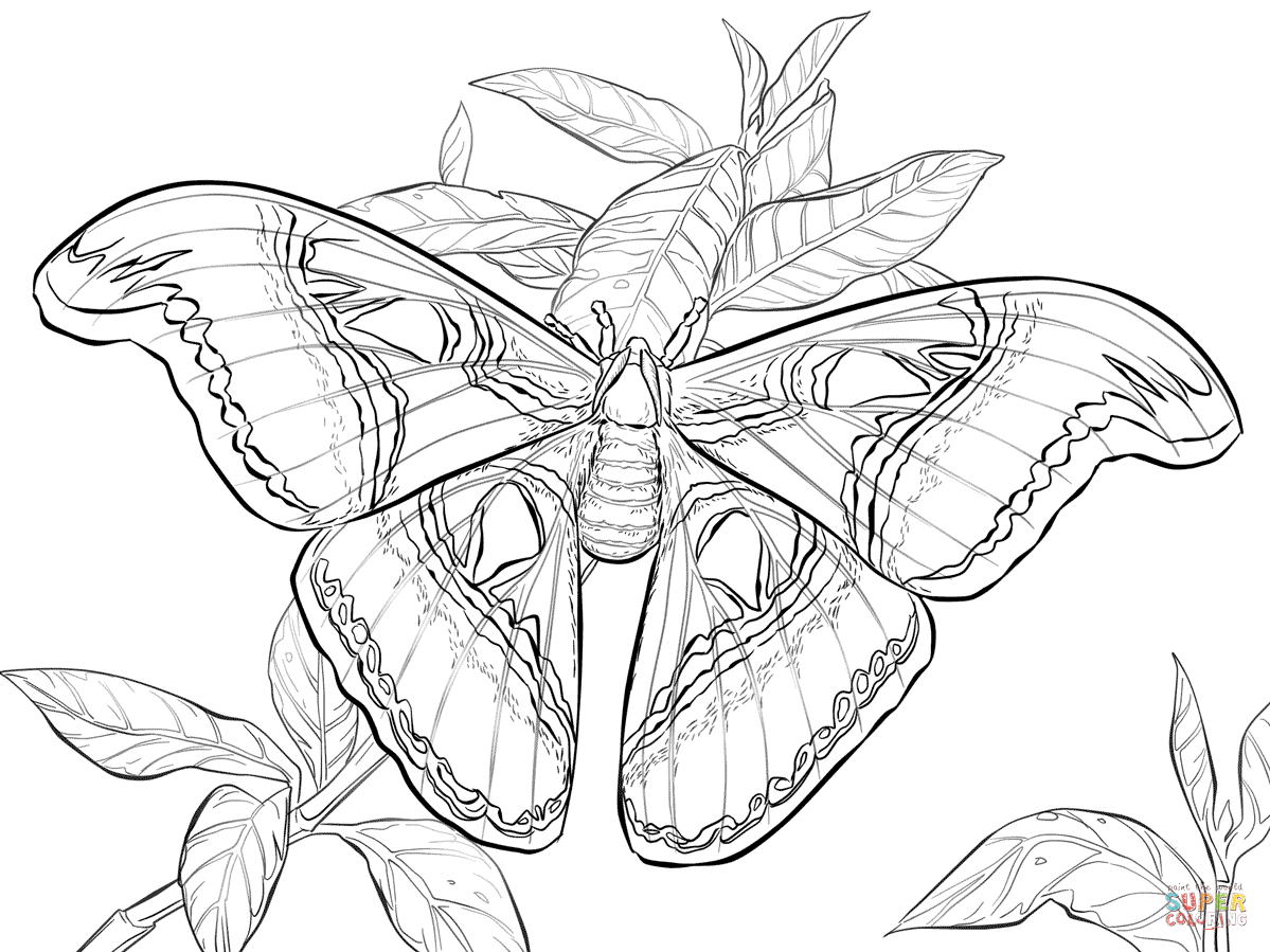 1199x899 Realistic Atlas Moth Super Coloring Coloring Pages