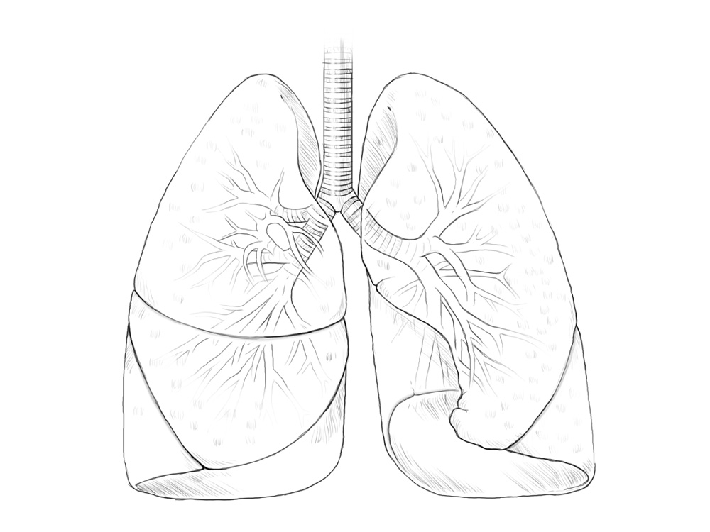 Lungs drawing at getdrawings free for personal use lungs 1000x750 scientific illustration lungs lachina ccuart Image collections
