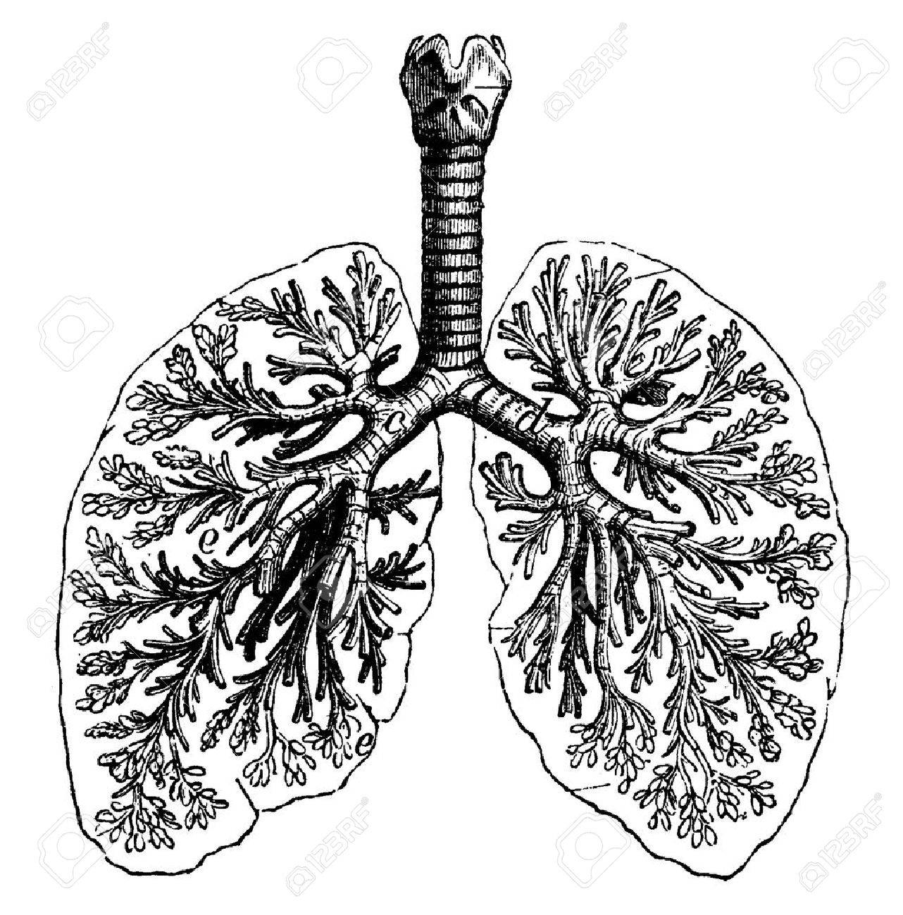 Lungs Drawing At Getdrawings Free For Personal Use Lungs