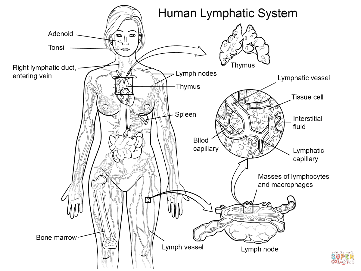 1199x899 Lymphatic System Coloring Sheets Lymphatic System Coloring Page