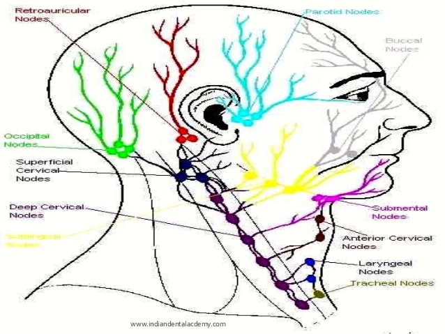 Lymphatic System Drawing at GetDrawings com | Free for