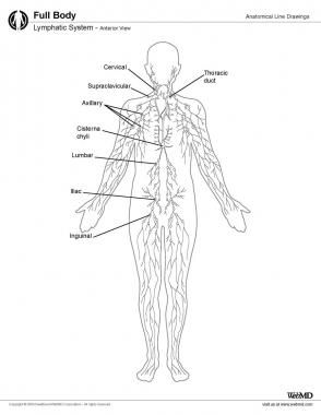 294x380 Lymphatic System Lymphatic System Lymphatic System