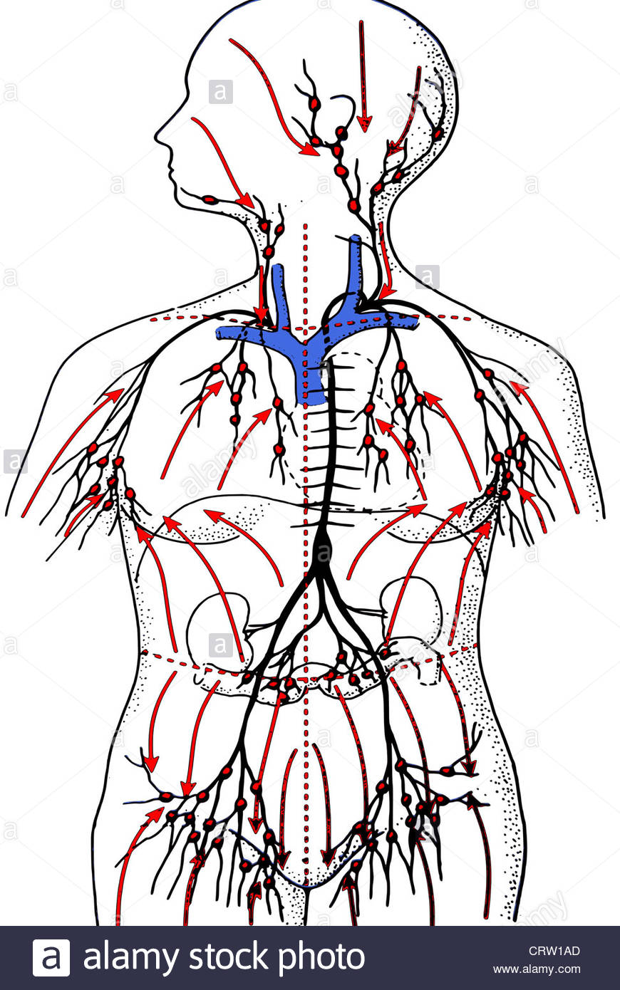 870x1390 The Lymphatic System Stock Photo 49107701