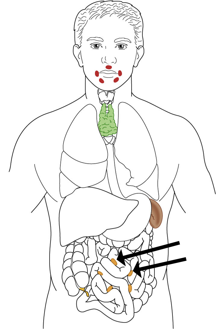 719x1096 The Lymphatic System Is A System In The Human Body That Clea By