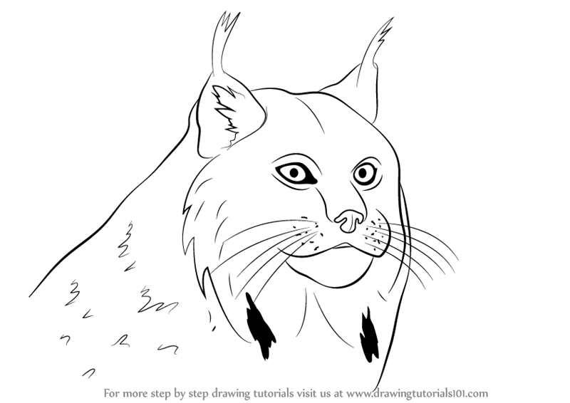 800x566 Learn How To Draw A Canada Lynx Face (Wild Animals) Step By Step