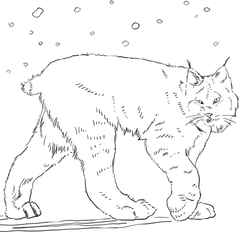 480x476 Canadian Lynx Coloring Page Free Printable Coloring Pages
