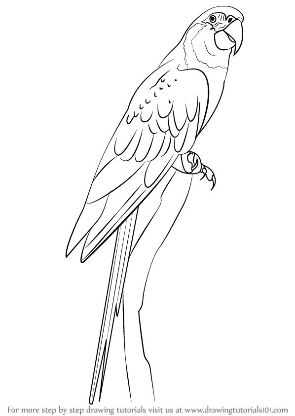 598x844 Learn How To Draw A Blue Throated Macaw (Birds) Step By Step